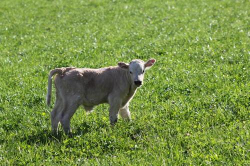 Tiere Ziegen +Kühe 2012 025