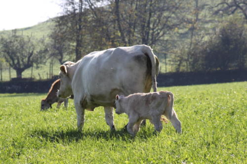 Tiere Ziegen +Kühe 2012 040