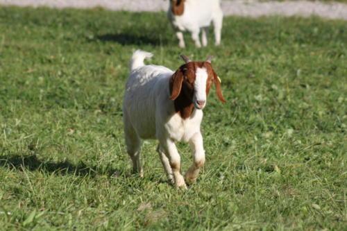 Tiere Ziegen +Kühe 2012 072