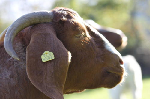 Tiere Ziegen +Kühe 2012 087