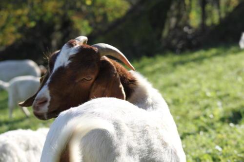 Tiere Ziegen +Kühe 2012 089