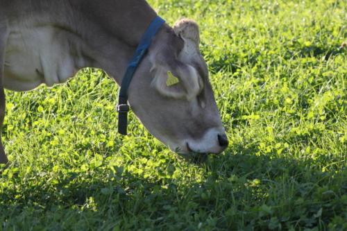 Tiere Ziegen +Kühe 2012 141