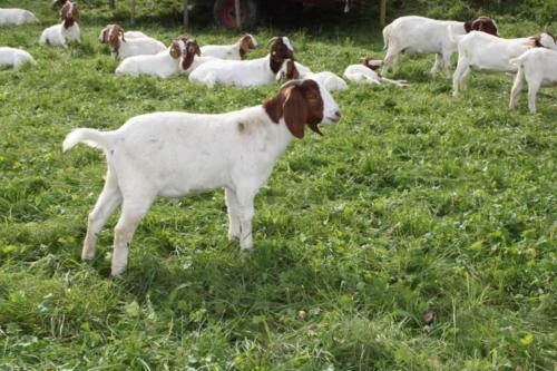 Tiere Ziegen +Kühe 2012 183